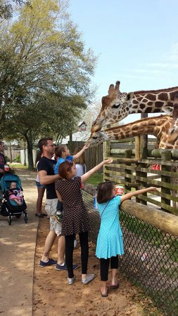 The Gulf Breeze ZOO : Feeding the giraffes at the Zoo