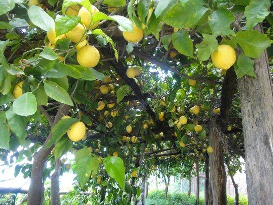 Mamma Agata - Cooking Class : Their lemon grove
