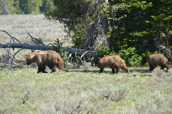 Jackson Hole Wildlife Safaris - Day Tours : Grizzly bear with 2 cubs