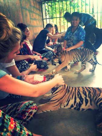 Tiger Temple ( Wat Pa luang Ta Bua) : Feeding the cubs