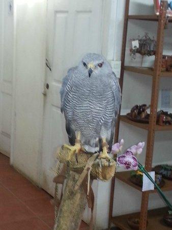Refugio Herpetologico de Costa Rica: Gavilán gris (gray hawk)