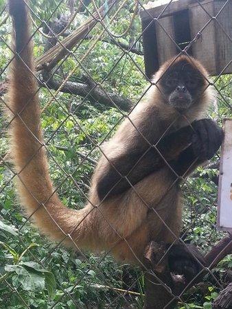 Refugio Herpetologico de Costa Rica: Sipder monkey (mono araña)