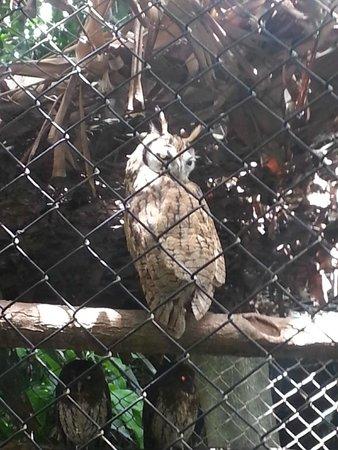 Refugio Herpetologico de Costa Rica: An owl (lechuza)