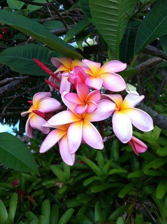 Papaya Paradise Bed and Breakfast: Bob's Plumeria