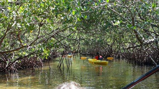 Almost Heaven Kayak Adventures : Low ceiling in the mangroves.