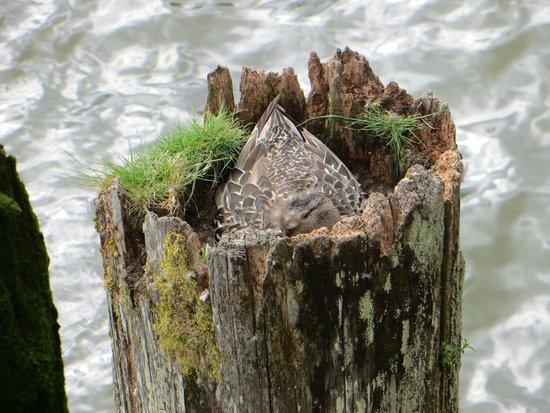 Cannery Pier Hotel: nesting in a pier!