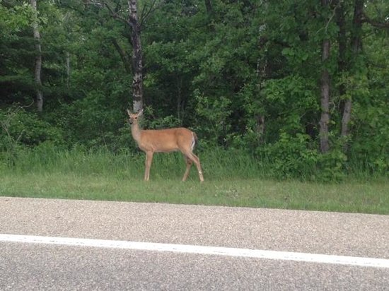 Birds Hill Provincial Park : The deer tend to hang out by the park roads early in AM