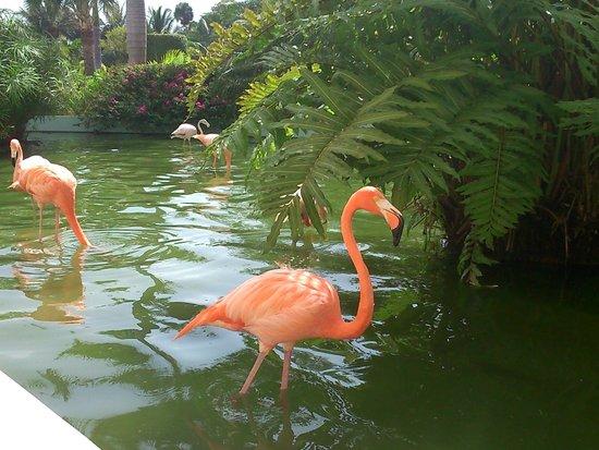 Iberostar Grand Hotel Bavaro: Flamingos in the grounds