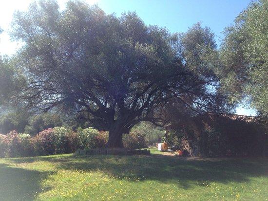 Agriturismo Li Sitagli: Ulivo centenario nel giardino