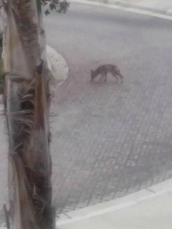 Sheraton Carlsbad Resort and Spa: Coyote Alert!