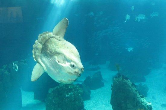 Lisbon Oceanarium : Sunfish