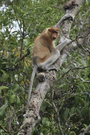 Rimba Orangutan Eco Lodge: Proboscis monkey