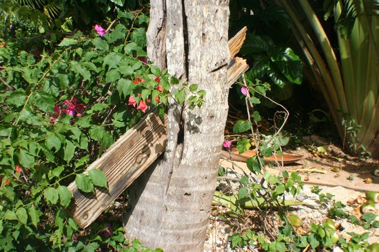 Dreams La Romana Resort & Spa: damage of broken fence in palm tree during a hurricane