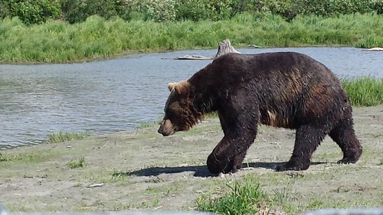 Alaska Wildlife Conservation Center: Brown Bear headed back to the water after feeding time