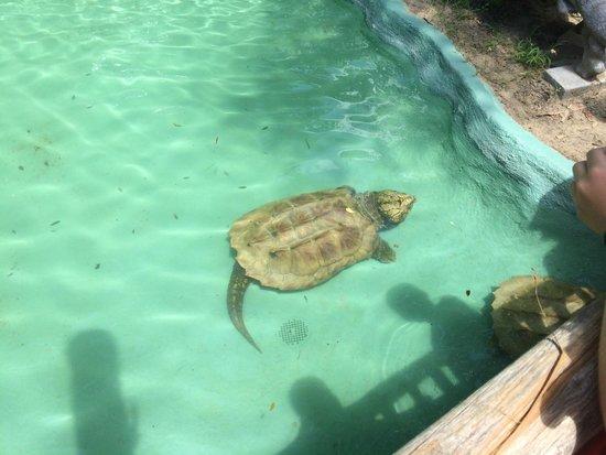 Edisto Island Serpentarium: Alligator Snapping Turtle