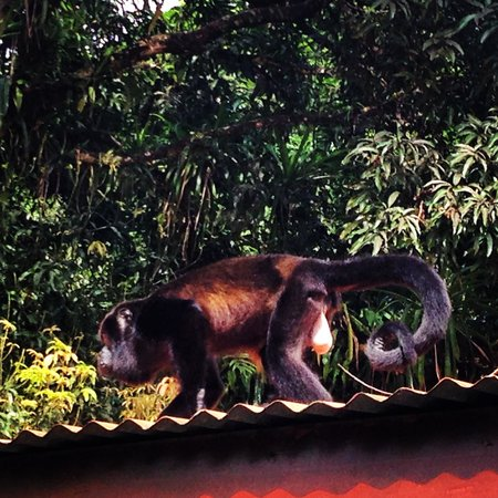 Pachira Lodge : Monkey