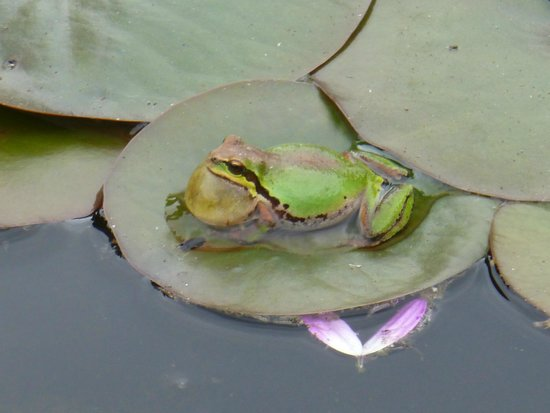 The Butchart Gardens: Frog in Pond