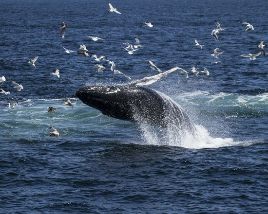 Hyannis Whale Watcher Cruises : Humpback whale calf breaching
