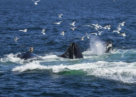 Hyannis Whale Watcher Cruises: Humpback whales feeding