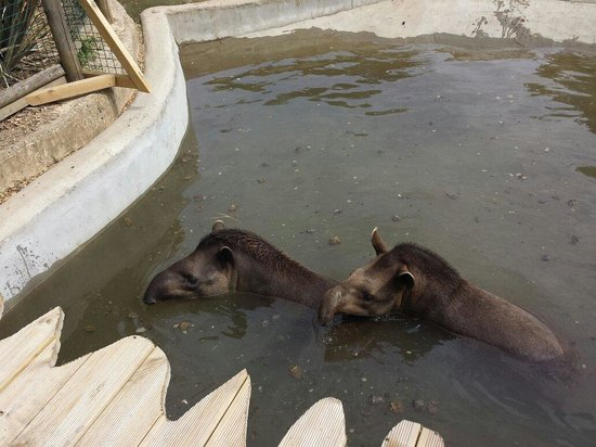 Amazona Zoo: Tapir's in there pool