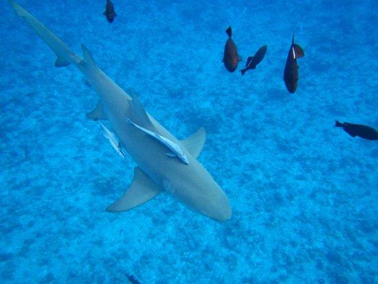 Moana Adventure Tours: lemon shark