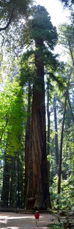 Henry Cowell Redwoods State Park: A rather tall Redwood