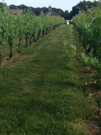 Jonathan Edwards Winery: Beautifully planted grape vines