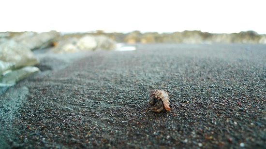 Ostional Turtle Lodge : One of the hermit crabs we saw on the Ostional beach