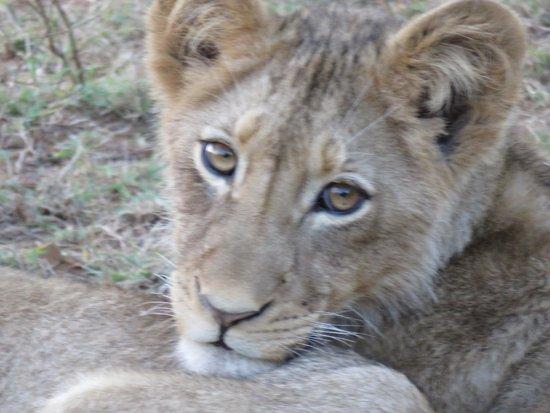 Toro Yaka Bush Lodge : Lion cubs!