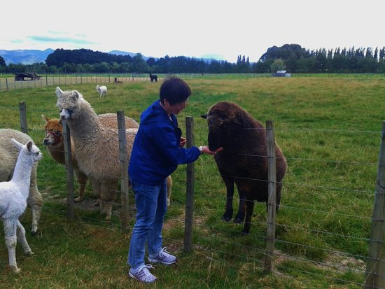 Kahikatea Gardens: A visitor meets Charlie one of the pet sheep while the alpacas look on