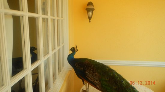 Sandals Royal Caribbean Resort and Private Island: (Peeping) Tom, the resident peacock