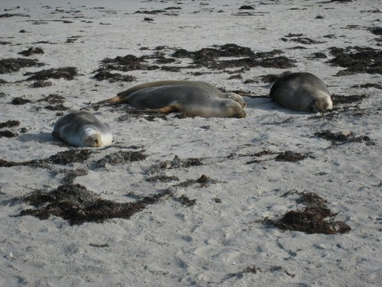 Seal Bay Conservation Park : bedtime...