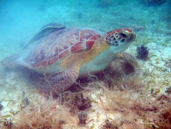 Maho Bay: The turtles just love eating the grass