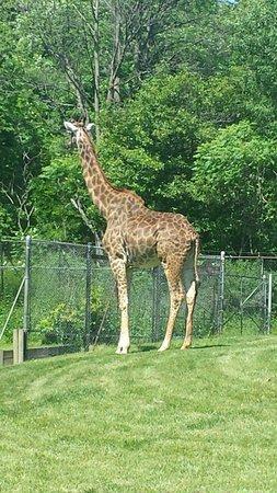 Toronto Zoo: giraffe