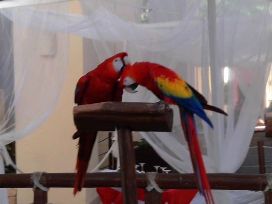 Occidental at Xcaret Destination: One of the pairs of birds in the hotel
