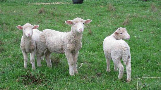 Breakaway Farmstay : lambs