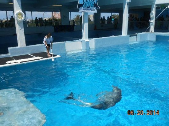 Clearwater Marine Aquarium : Winter shows how she can swim with her prosthetic tail