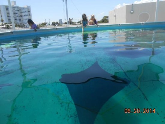 Clearwater Marine Aquarium : Sting Ray touch tank