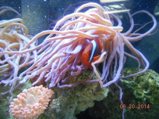 Clearwater Marine Aquarium : Clown Fish and Anemone