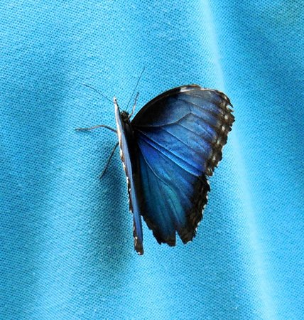 Butterfly Haven : Blue Morpho on blue polo