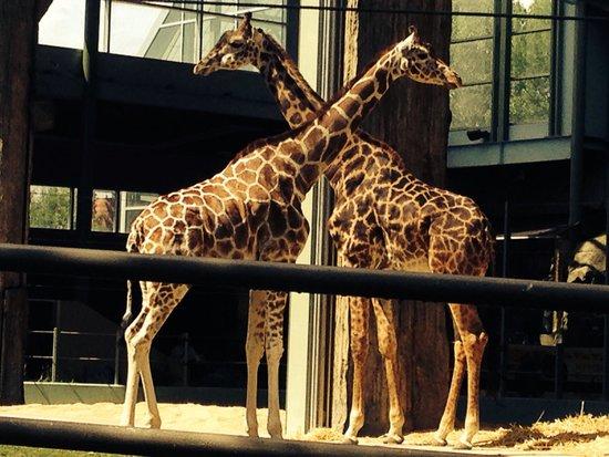 The Calgary Zoo : Giraffes