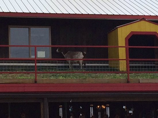 Goats on the Roof : Goat on the roof