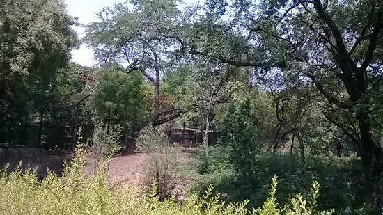 Nehru Zoological Park: Royal Bengal Tiger on the tree