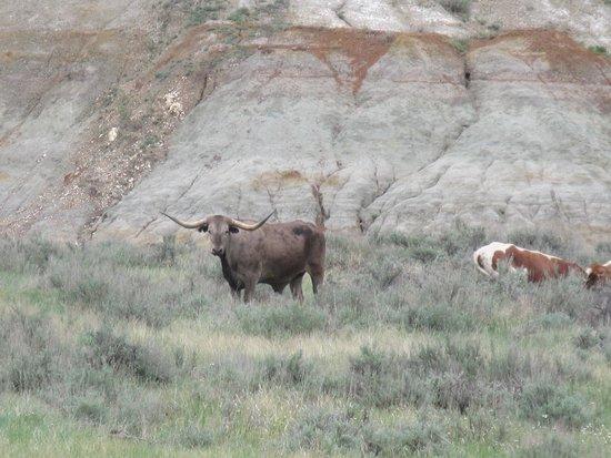 Oxbow Overlook: Long Horn at Teddy Roosevelt National Park