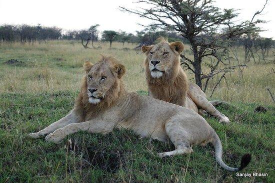 Great Plains Conservation Mara Plains Camp: Big Cats