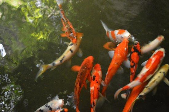 Dusun Jogja Village Inn : kingkoil fish in the pond