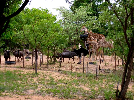 Olievenhoutsrus Guest & Game Farm: some animals and the baby giraffe