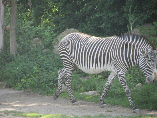 Leipzig Zoo (Zoologischer Garten Leipzig): Zebra