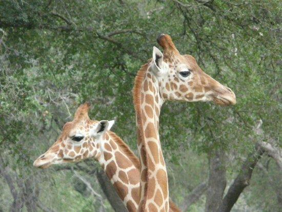 Natural Bridge Wildlife Ranch: Just heads