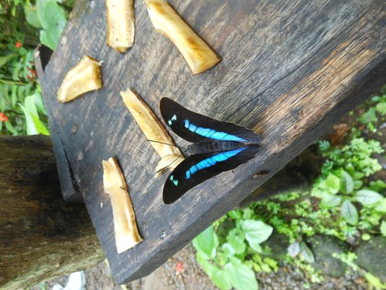 Adventours Costa Rica : blue morpho butterfly